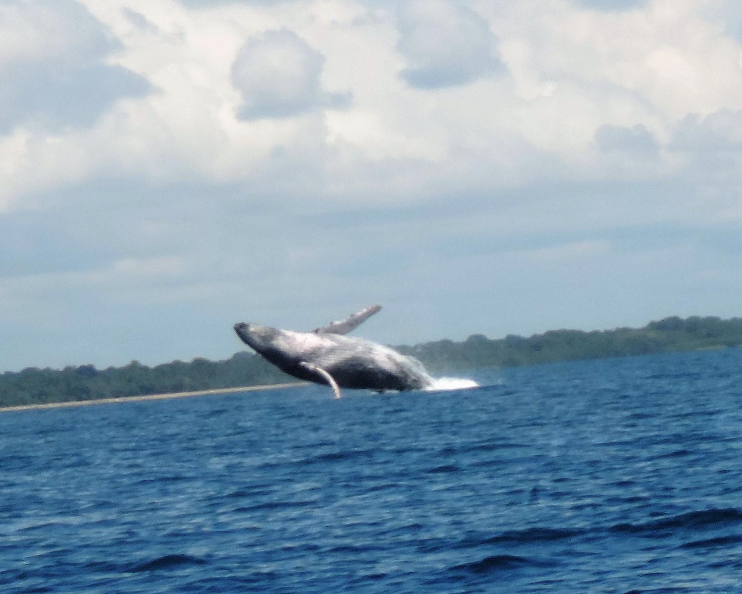 Une baleine à bosse saute entre la plage de Pedasi et Isla Iguana